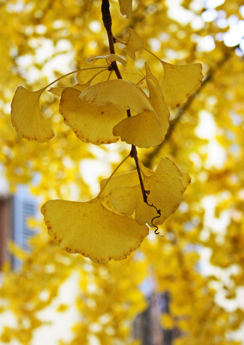 I noticed when I was walking to class that there's a Gingko Bilboa planted right next to the education building (: They're my favorite trees. I can't wait for fall when it turns bright yellow and I can press some of the leaves.