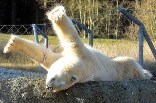 samaralex:  polar bear stretch by Chuck Hilliard          ah good morning, time to stretch.