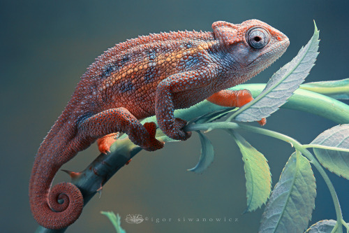 "mcsprankles:  ""Rudis Chameleon"" - BlepharopsisOnce again, Igor takes stunning photos. He makes me really really want a rudis chameleon."