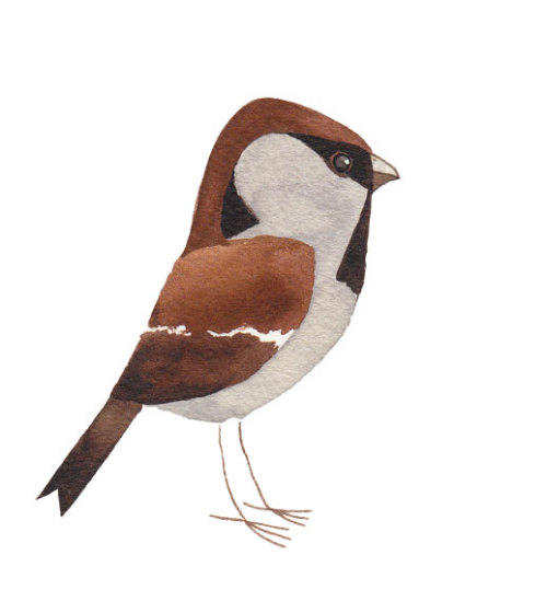 Matt's Bird of the Week – Tree Sparrow THIS BIRD. via Caught by the River