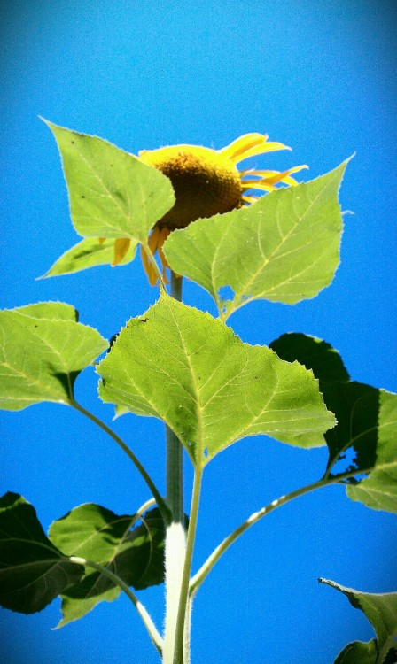 I grew my sunflowers from seeds I collected from last years sunflowers.  They are my favorite flower.  The taller the better.