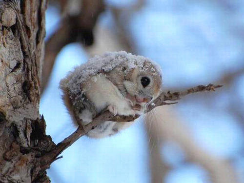 Dwarf Flying Squirrel :) :) :)