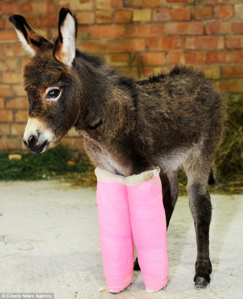 allcreatures:  Primrose the three-week-old donkey was saved by vets who put her under-developed legs in pink casts until they are string enough to support her (via Donkey walks for the first time in Bridgnorth, Shropshire, after vets fit casts to her legs | Mail Online)