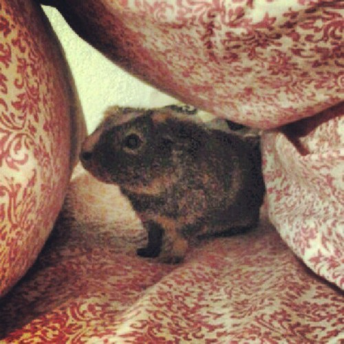 A Dotie under my pillow :0 #guinea #pig #animals  (Taken with Instagram)