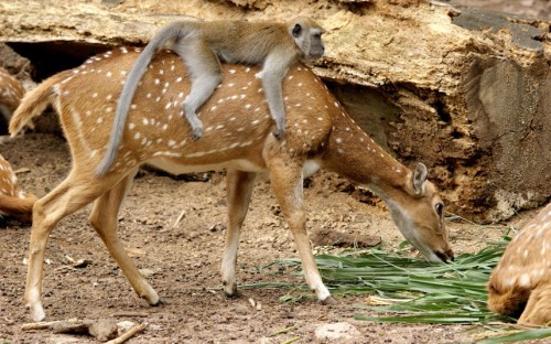 A monkey riding on a deer. (Via fuckyeahinterspeciesfriendships)