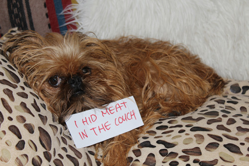 bunnyfood:  (via dogshaming)  fred hid a porkchop in the couch once