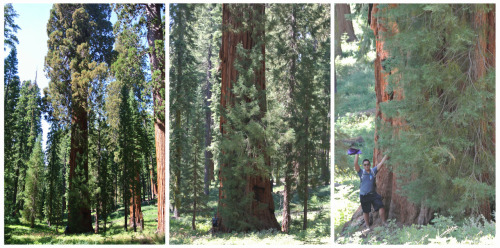 Giant Sequoia @ Mariposa Grove - Yosemite National Park