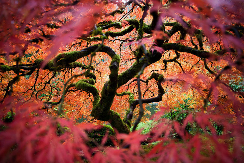 "zombiepandapoc:  A Japanese maple, by Fred An, one of seven Merit winners. ""This is the great Japanese maple tree in the Portland Japanese Gardens. I tried to bring a different perspective of this frequently photographed tree."" (© Fred An/National Geographic Traveler Photo Contest)"