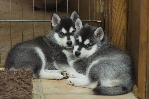 rachencao:  Alaskan Klee Kai - my dream dog ♥