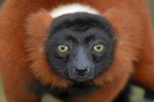 positive-press-daily:   Good news for lemurs: Officials in Madagascar have created the island's biggest protected wildlife park.  Named Makira Natural Park, the area is larger than the state of than the state of Rhode Island, and it provides a habitat for the highest diversity of lemurs on the planet, the Wildlife Conservation Society (WCS) announced. The park stretches over 1,438 square miles (372,470 hectares) of rainforest in northeastern Madagascar and contains 20 of the island's 103 lemur species, including the red-ruffed lemur and the silky sifaka, WCS officials said. Lemurs, found only in Madagascar, were recently named the most endangered group of vertebrates on Earth. Along with lorises and bushbabies, lemurs belong to a group called prosimian primates, defined as all primates that are neither monkeys nor apes. Makira Natural Park also will protect some less cuddly creatures, including the Madagascar serpent eagle and the island's only large predator, the cat-like fossa, which eats lemurs and needs large areas of intact forest to maintain healthy populations, WCS said.