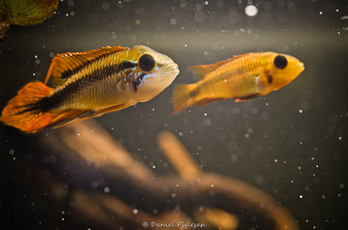 lieutenantfinn:  A. agassizii pair by DaniP_Ro on Flickr.
