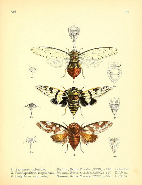 t kjh;kscientificillustration:  Cicadas by BioDivLibrary on Flickr. Aid to the identification of insectsLondon :E.W. Janson,1880-90..biodiversitylibrary.org/page/7673341  s