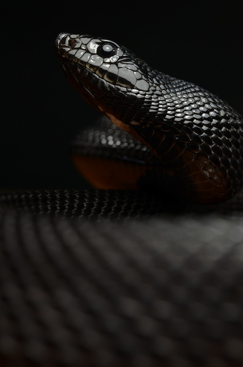 Black Mamba Deadliest snake on this planet