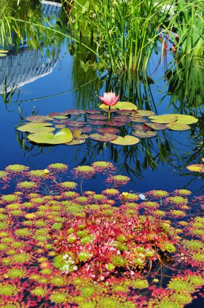 lewisginter:  Beautiful photo of lily pads in the Garden by theyllseeuswavin  WHAT? Are those hens & chicks? Can anyone identify the plant in the foreground?