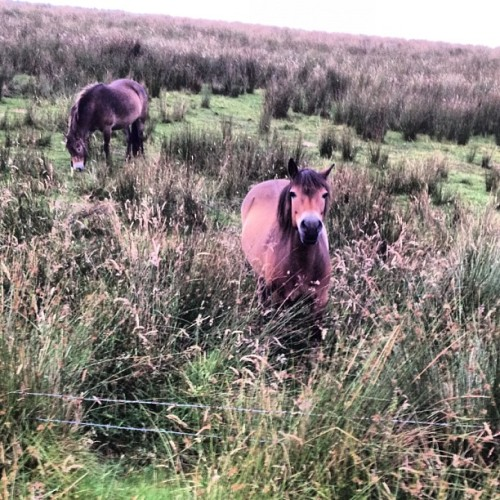 exmore ponies!!!! I want to take one home so cute!!!  (Taken with Instagram)