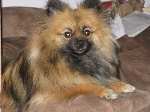 "Pomeranian Is Tumblr Mascot's Biggest Fan A Texas Pom named Kodo has a few things on his bucket list. ""Attending the Westminster Dog Show, dinner at the Rainbow Room on Valentine's Day, and meeting Tommy the Pom,"" says Audrey Payne, a source close to the situation. He is arguably the Tumblr mascot's biggest fan. Friends note his bedroom is covered in posters and other Tommy Pom memorabilia. ""Even though he may not get to meet him, a reblog on Tommy's website would probably make his whole life,"" Payne tells The Fluffington Post."
