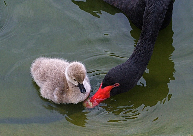 fairy-wren:  black swans (photo by chi liu)