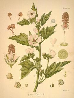 Source: (botanical.com)Common Marshmallow (Althea officinalis LINN)
