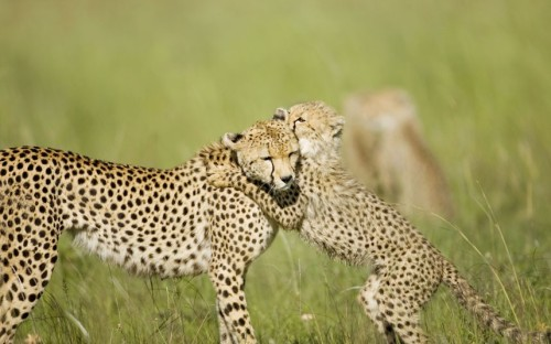 theanimalblog:  A cheetah cub plays with its mother on the Masai Mara in Kenya. Picture: Winfried Wisniewski / Robert Harding / Barcroft Medi