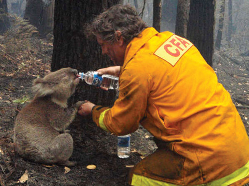 Firefighter giving water to a koala during the devastating Black Saturday bushfires that burned across Victoria, Australia, in 2009.   -lip wobble-