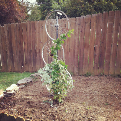 greenlivingagent:  I am in love with this trellis I just made for my raspberry bush! I used a tomato stake that was my Grandpa's ( they were originally fence posts that he reused), some old bike tires, and some framing wire I had around the house. Super easy and I didn't buy a thing! Love it!!