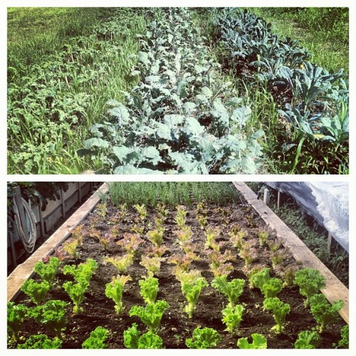 #local #organic #kale & #rapidlettuce with @FarmerRyanCoon #upstate (Taken with Instagram at The Berry Farm)