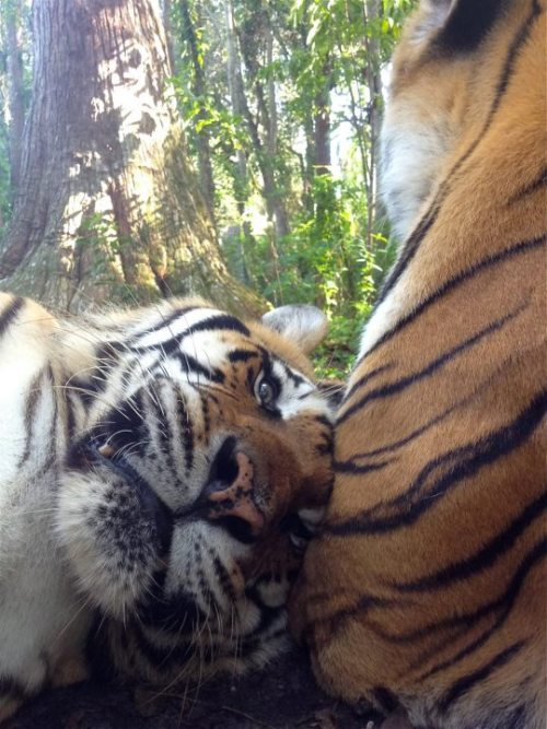 Shere Khan and his China Doll (by Big Cat Rescue)