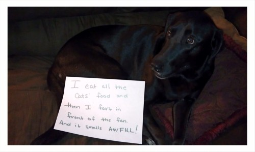 dogshaming:   Catfood thief and cropdusting master Heidi!  premeditated vapor crime