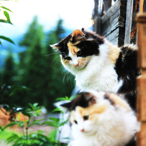 photogenicfelines:  (cirrouncino)