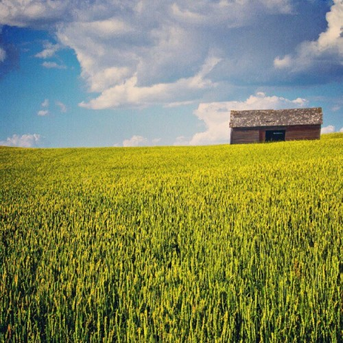 Rising up on a sea of #wheat. #Saskatchewan #Wheat #landscape #scenic #instaclouds #instasky #picoftheday #instagood #rural #harvest #farm  (Taken with Instagram)