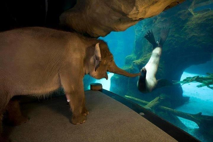 "This is just a cool photo from the Oregon zoo. I wonder what she thought of the sea lions. They often take the female elephants out to walk around after hours. (via ♧Eden) ""The animal handlers at the Oregon Zoo took Chendra around to meet some of the other animals one day before the zoo opened. The sea lions were her favorite!"""