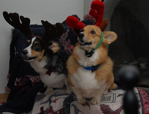 These corgis were under the impression that there are tryouts every year in the North Pole.