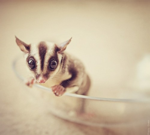 worldlyanimals:  Sugar Glider (Poppy Green)  Hi i ame tiny.