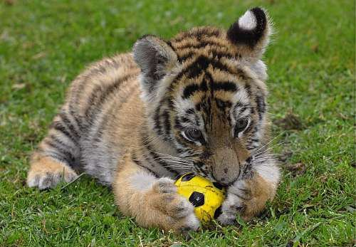 funnywildlife:  Tiger cub footie!!