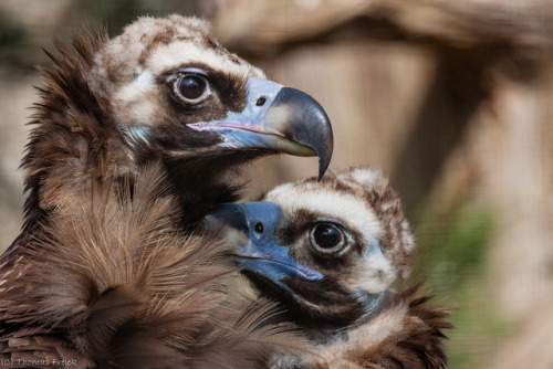 jayrockin:  fairy-wren:  cinereous vulture (photo by thomas frejek)  fluffy babies