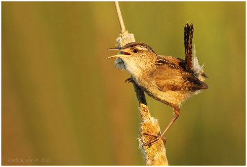 deviantbirds:  Marsh Wren by *Ryser915 Marsh Wrens are secretive birds. They breed in cattail marshes, and usually remain out of sight, even when singing. This male was singing on territory, and climbed a cattail to scope out his competition singing ten feet away. During breeding season, this species sing all day, and even throughout the night.