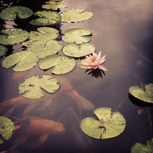 Koi and lotus #koi #fish #lotis #lillypad #pond #aquarium #water #newyork #longisland  (Taken with Instagram at Long Island Aquarium & Exhibition Center (Atlantis Marine World))