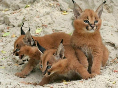 Most adorable Caracal cubs ever!