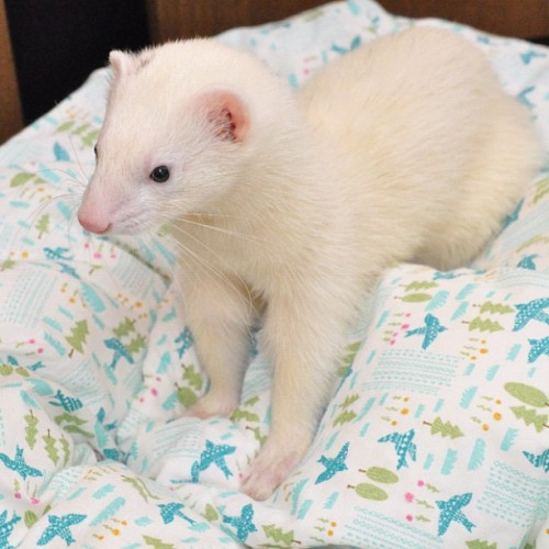 しらす「おはよー」 #ferret #instaferret #petstagram