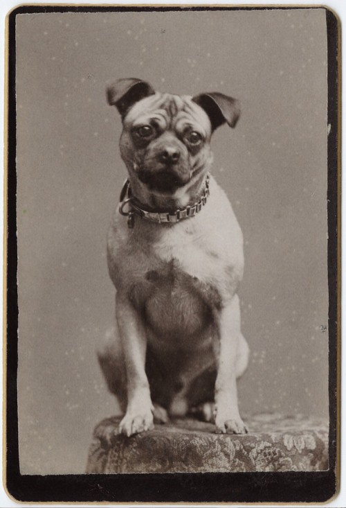 ca. 1855-1895, [carte de visite portrait of a dog in a metal collar], Houston's Excelsior Gallery via Yale Collection of Western Americana, Beinecke Rare Book and Manuscript Library, Carl Mautz Collection