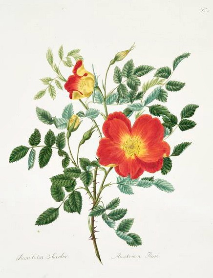 stilllifequickheart:  Mary Lawrence Austrian Rose 1799