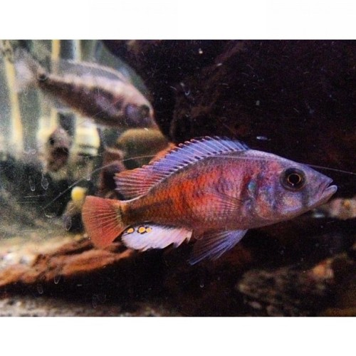 "2.5"" #crimsontide! #fishtank #mytank #freshwatertank #fish #fisch #aquatic #thelifeaquatic #freshwater #freshwaterfish #tropical #aquaria #Aquarium #communitytank #instafish #fishhub #fishgeek #fishlife #fintastic #underwaterworld #aquascape #cichlids #cichlidtank #100gallon  (Taken with Instagram)"