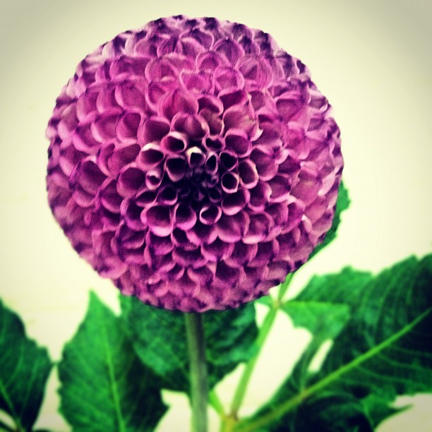 A little intoxicating: #dahliashow. #instaflower #flowerstagram  (Taken with Instagram at South Coast Botanic Garden)