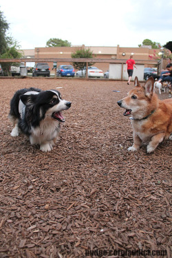 corgiaddict:  Roady, Pudge's barking partner, crossed the rainbow bridge tonight.  RIP dearest Roady.