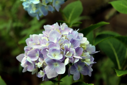 I do know the name of this flower.  Hydrangea