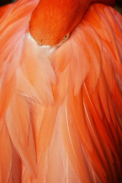 j0nnybanana:  Shy flamingos by Vergil Kanne