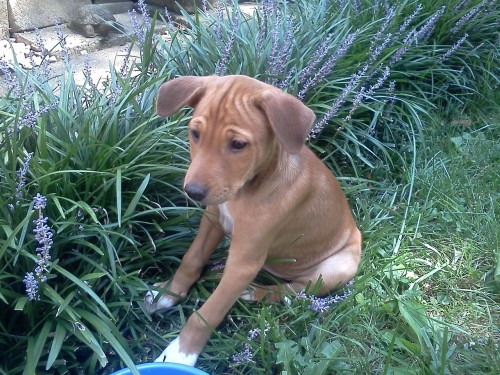 And, our brand new fourth dog - Biko, an eight-week-old Avuvi.  Avuvis are an aboriginal African breed - Biko's mom's (Scout) owner was a Peace Corps volunteer in Mali, and brought Scout home along with seven surprise passengers.
