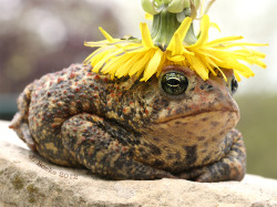 realmonstrosities:  tr1ple-sp1ral:  i for one welcome our new dandelion toad king  Me too. He looks like he knows what's going on.