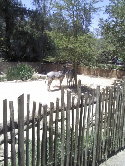 Zebra's at the zoo. (: