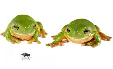 "The White's Tree Frog (Litoria caerulea) is a popular tree frog believed to originate from Australia and New Guinea. They are an excellent frog for first-time frog owners as they are simple and easy to care for. White's tree frogs have an average lifespan of 16 years and are sometimes called Dumpy Tree Frogs due to their ""dumpy"" appearance. The adult frogs can grow to 4-5 inches in length. Females are usually longer than males, but it is very difficult to determine sex, even when the frog is a bit older. White's Tree Frogs aren't known for being terribly active. They are content to sit quietly for hours on end, staring out of their habitat at plants, owners, or walls. Mealtime, however, can be different entirely. Your pet white's tree frog will move quickly and quietly, stalking its prey. After a while, the frogs will also be able to tell when its owner is going for the box of crickets. It will become quite interested in your every move! The white's tree frog is great with people, even kids. They love to climb on arms and don't seem to mind being handled. People handling a dumpy tree frog should always rinse their hands beforehand and wash thoroughly with soap and water after. Dumpy tree frogs do have a toxin in their skin that could sometimes cause some skin irritation if not washed after."